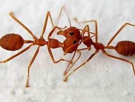 gambar-semut-merah